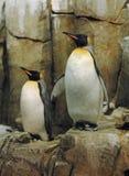 Pingüinos de emperador Imágenes de archivo libres de regalías