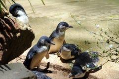 Pingüinos de hadas Imagen de archivo libre de regalías