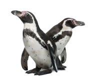 Pingüinos de Humboldt, humboldti del Spheniscus Fotografía de archivo libre de regalías