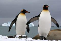 Pingüinos de rey Foto de archivo