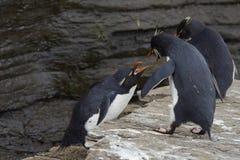Pingüinos de Rockhopper - Islas Malvinas Fotografía de archivo libre de regalías