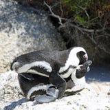 Pingüinos de zopenco de acoplamiento Imagen de archivo libre de regalías