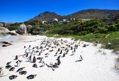 Pingüinos en la playa de los cantos rodados. Suráfrica. Foto de archivo