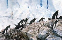 Pingüinos y polluelos (Pygoscelis Papua) de Gentoo en la colonia de grajos en el puerto del paraíso, la Antártida Foto de archivo