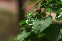Pingo de chuva na folha Foto de Stock Royalty Free