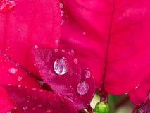 Pingo de chuva na folha vermelha Imagem de Stock Royalty Free