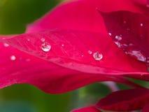 Pingo de chuva na folha vermelha Imagens de Stock