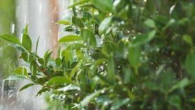 Pingo de chuva suculento do respingo do movimento lento que molha na folha e na árvore frescas do verde da natureza video estoque