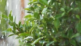 Pingo de chuva suculento do respingo do movimento lento que molha na folha e na árvore frescas do verde da natureza vídeos de arquivo
