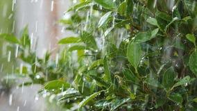 Pingo de chuva suculento do respingo do movimento lento que molha na folha e na árvore frescas do verde da natureza filme