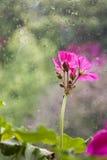 Pingos de chuva e flor Fotos de Stock Royalty Free