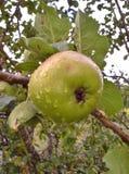 Pingos de chuva em Bramley Apple Foto de Stock Royalty Free