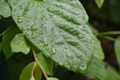 Pingos de chuva em Leavs Fotos de Stock Royalty Free