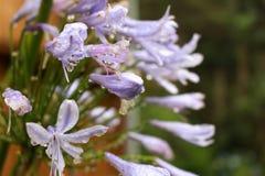 Pingos de chuva em ramos roxos da flor imagem de stock