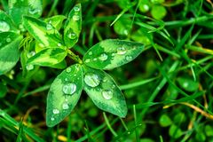 Pingos de chuva em um close-up verde da folha Gotas da água em um macro da planta verde Fotos de Stock Royalty Free