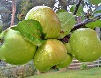 Pingos de chuva em um grupo de maçãs de Bramley Foto de Stock Royalty Free