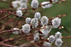 Pingos de chuva em uma árvore da mola Fotografia de Stock Royalty Free