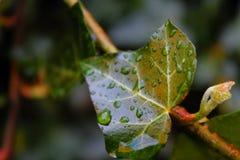 Pingos de chuva em uma folha Imagens de Stock