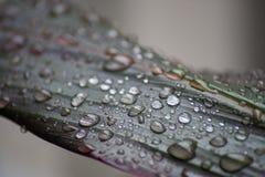 Pingos de chuva em uma folha da planta do si Imagem de Stock