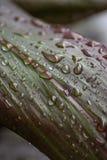 Pingos de chuva em uma folha da planta do si Imagens de Stock Royalty Free