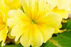 Pingos de chuva na flor amarela Fotografia de Stock