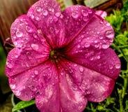Pingos de chuva na flor cor-de-rosa Fotos de Stock Royalty Free