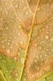 Pingos de chuva na folha de plátano Imagem de Stock Royalty Free