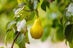Pingos de chuva na pera amarela que pendura na árvore verde fotos de stock royalty free