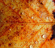 Pingos de chuva na superfície da folha do outono Foto de Stock