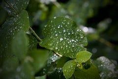 Pingos de chuva nas folhas Fotografia de Stock Royalty Free
