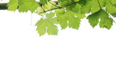 Pingos de chuva nas folhas da uva Imagens de Stock