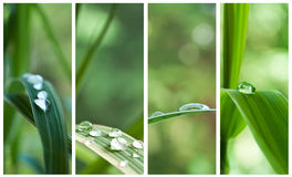 Pingos de chuva nas folhas de bambu Fotografia de Stock