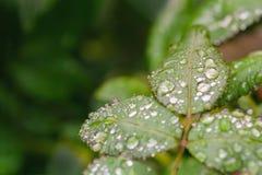 Pingos de chuva nas folhas do rosebush fotos de stock royalty free