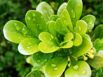 Pingos de chuva nas folhas vibrantes frescas do verde Foto de Stock Royalty Free