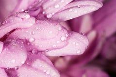 Pingos de chuva nas pétalas cor-de-rosa da flor Imagem de Stock Royalty Free