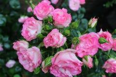 Pingos de chuva nas p?talas cor-de-rosa fotos de stock royalty free