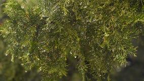 Pingos de chuva no ramo de um thuja vídeos de arquivo