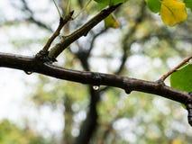Pingos de chuva no ramo molhado no parque na chuva imagens de stock
