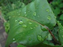 Pingos de chuva transparentes em uma folha verde de um macro cor-de-rosa imagens de stock royalty free