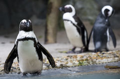 Pingouin Images libres de droits