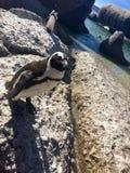 pingouin Image stock