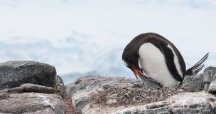 Pingouin adulte de Gentoo d'emboîtement alimentant le petit poussin, péninsule antarctique photo libre de droits