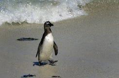 Pingouin africain à la plage de rochers Photographie stock libre de droits