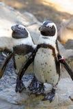 Pingouin africain Photographie stock libre de droits