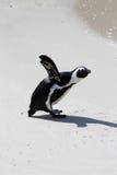 Pingouin africain Photo libre de droits