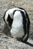pingouin africain Image stock