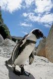 pingouin africain Image libre de droits