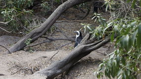 Pingouin africain dans l'environnement naturel Photographie stock libre de droits