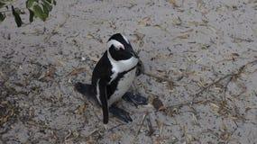 Pingouin africain dans l'environnement naturel Photos stock