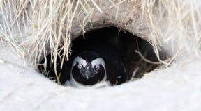 Pingouin africain dans un nid photos stock
